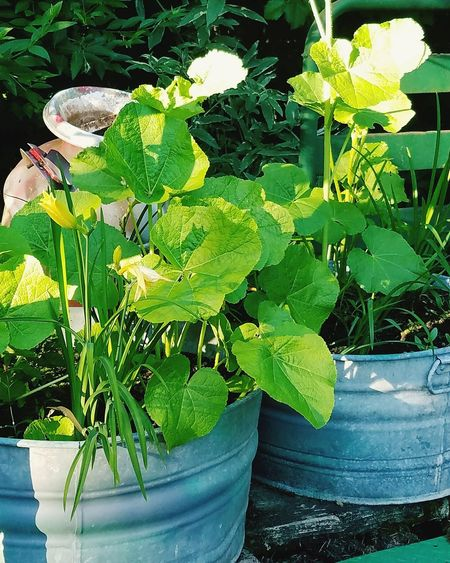 Summer Ladyphotographerofthemonth My Garden Pacific Northwest  Rustic Wash Bin Freshness Green Color No People Beauty In Nature Pumpkins
