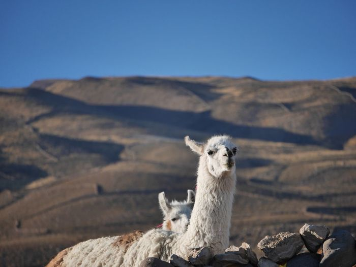 Llama standing against mountain