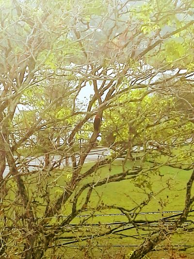 Look for the red Full Frame Nature Beauty In Nature Close-up Green Colour Outdoors Day Tree No People Backgrounds Bird Wood Pecker Red Head Woodpecker Woodpecker In Tree Branches Patterns In Nature Growth Greenery