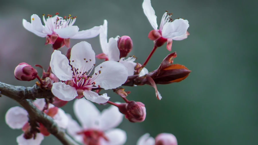 Plum Blossom Beauty In Nature Blooming Blossom Branch Close-up Day Flower Flower Head Fragility Freshness Growth Nature No People Outdoors Petal Pollen Springtime Stamen Tree White Color