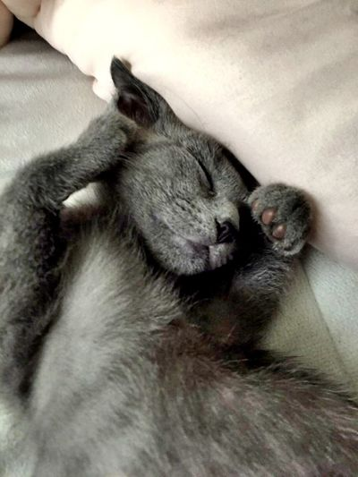 My Cat😻😸🙀😿😿 Funny Pics 🐈🐈sleeping Russian Blue