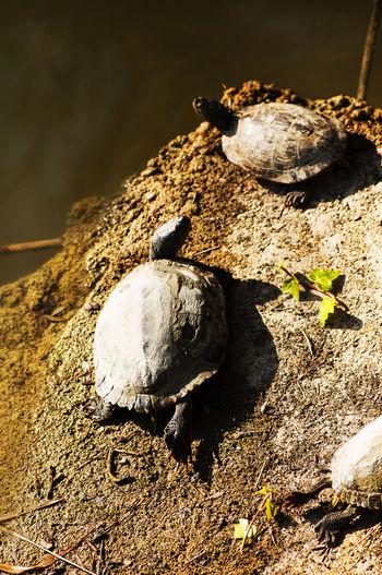 tartarughe Rock