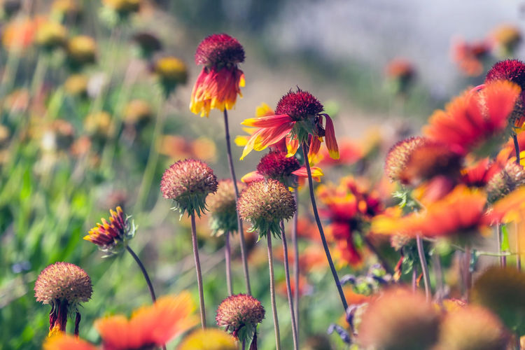 Close-up Flower Flowering Plant Plant Growth Freshness Fragility Vulnerability  Beauty In Nature Selective Focus Nature Petal Flower Head No People Inflorescence Coneflower Plant Stem Day Yellow Orange Color