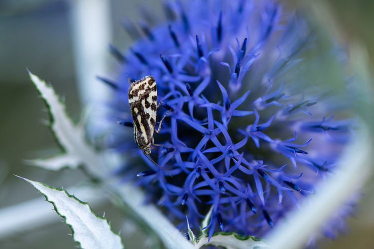 Small moth drinking nectar from a globe thistle... Butterfly Globe Thistle Echinops Sphaerocephalus Small Tiny Macro Macro Insects Summer Blooming Fragility Nature Beauty In Nature EyeEm Nature Lover Wildlife & Nature Pollination Drinking Nectar Animal Flower Flower Head Butterfly - Insect Insect Close-up Animal Themes Plant Thistle Symbiotic Relationship Spiked Pollination Moth Animal Antenna