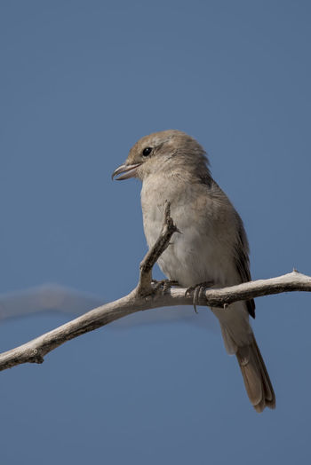 Isabelline Shrike Outdoors Sky Bird Nature Birds🐦⛅ Bird Photos Nature Blue