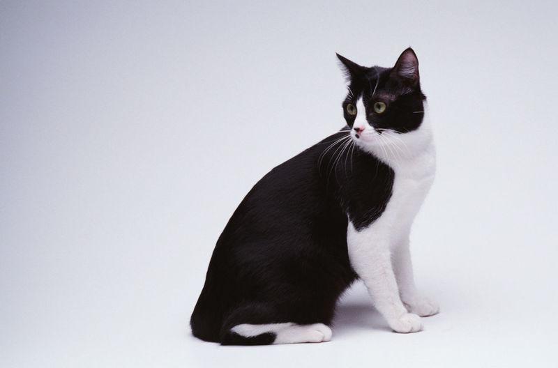 Black cat sitting on white background