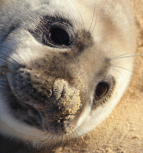 Sandy Seal Blakeney Point East Anglia Norfolk Seal Colony Animal Eye Animal Nose Animals In The Wild Beach Blakeney Point Close-up Eye Fluffy Looking At Camera Mammal Marine Nature No People One Animal Sandy Nose Sandy Seal Seal Seal - Animal Seal Pup Sunbathing Sunshine Whisker