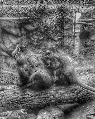 Just digging. At Kansas city zoo while back during sons field trip...... Ks_pride Wow_america_bnw Wow_hdr Blackandwhite Blackandwhitephotography Trb_bnw TRB World_bnw Bnw Blancoynegro Love Instamood Instagram Kansascityzoo Monkey Zoo Fun Fuckyeah Backpickinglove Kansasphotographer Kansasphotos Kansas Igkansascity Instagram