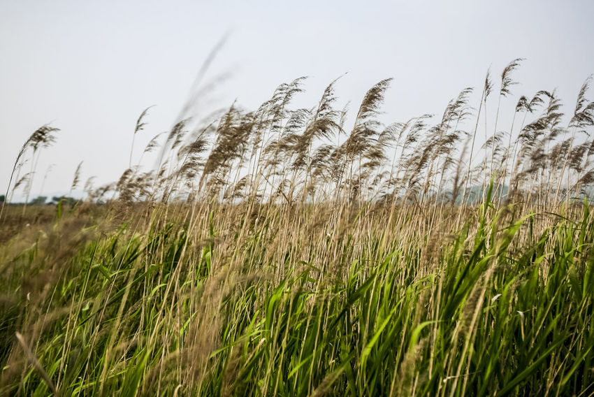 Crop  Day Dry Field Forest Grass Growing Growth Marshland  Nature No People Normal People Scare Me Outdoors Plant Reed Tranquil Scene Tranquility Uncultivated Wilderness Windy