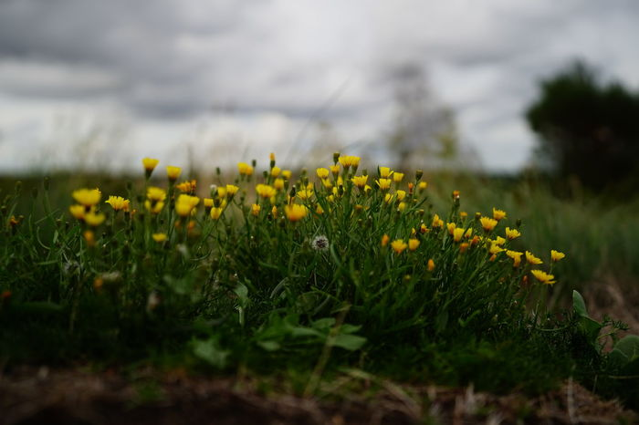 Beauty In Nature Close-up Day Field Flower Flower Head Flowering Plant Fragility Freshness Grass Green Color Growth Land Nature No People Outdoors Plant Selective Focus Sky Springtime Tranquility Vulnerability  Yellow