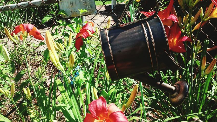 Taking PhotosHanging Out Vintage Watering Can Flowers,Plants & Garden SunshineyDay Day Lillies