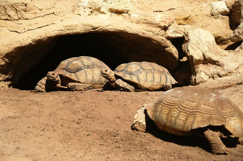 turtles life Tortoise Shell Tortoise Reptile Sand Beach Desert Turtle Animal Shell Shell Exotic Pets Arid Climate
