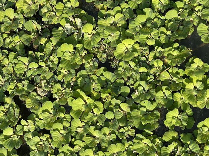 Green gras Leaf