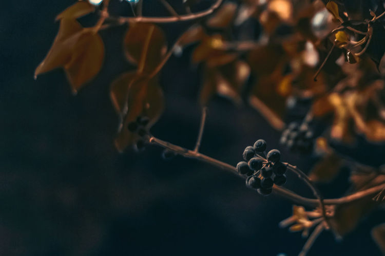 Night berries Beauty In Nature Branch Bud Close-up Day Dry Focus On Foreground Fragility Freshness Growth Hanging Leaf Nature No People Outdoors Plant Selective Focus Stem Tree Twig