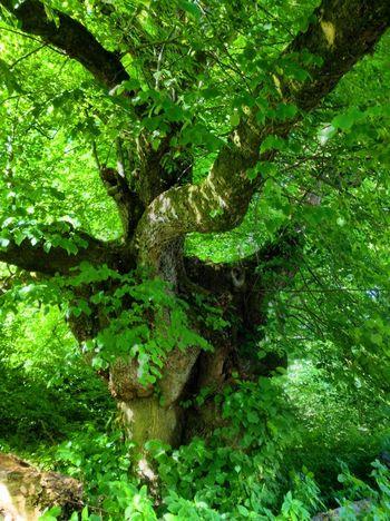 Tadaa Community Danmark Old Tree