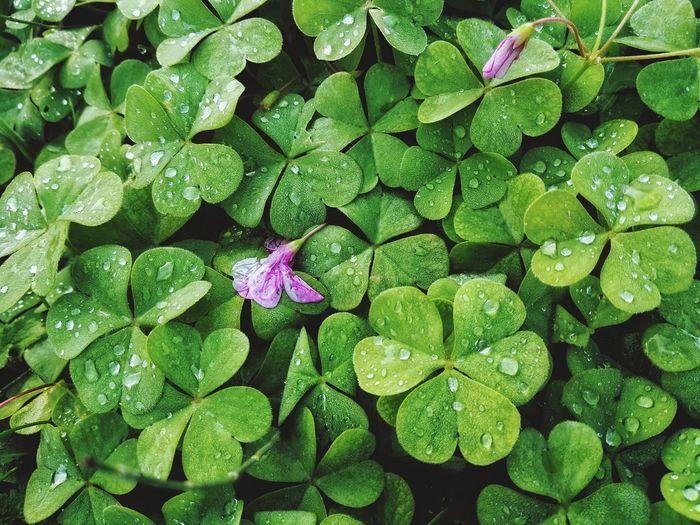 Full frame shot of wet clover leaves