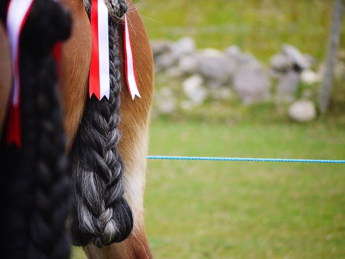 Show ready Ready For Show Horse Horse Life Plaited Horse Tail Horse Tail Horse Photography  EyeEm Selects Day Sport Focus On Foreground Outdoors Competition Nature Grass