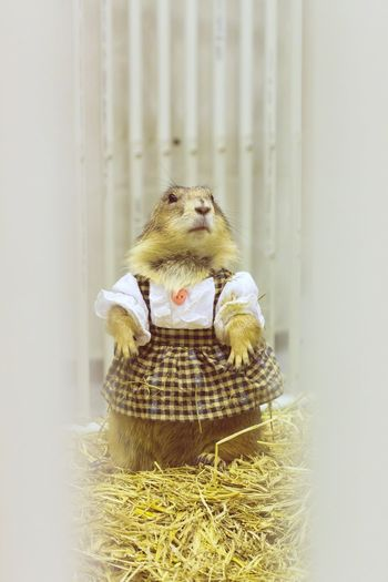 Prairie Dog Costume Alertness Animal Animal Head  Animal Themes Brown Close-up Costume Cute Pets EyeEm EyeEm Best Shots Focus On Foreground Frame It! Full Frame Looking Looking At Camera Lovely No People One Animal Prairie Dogs Rat Relaxing