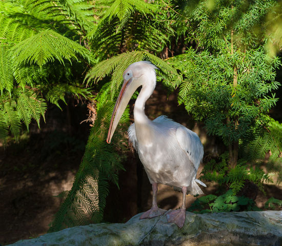 Pelican with green foilage background Animal Themes Animal Wildlife Animals In The Wild Avian Beak Bill Bird Close-up Day Fethers Fish Eater Green Color Growth Lake Nature No People One Animal Outdoors Pelican Perching Plant Pouch Tree Water Water Bird