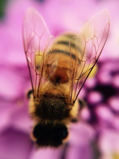 Bumblebee Extreme Close-up Beauty In Nature Bees Petal Pollination