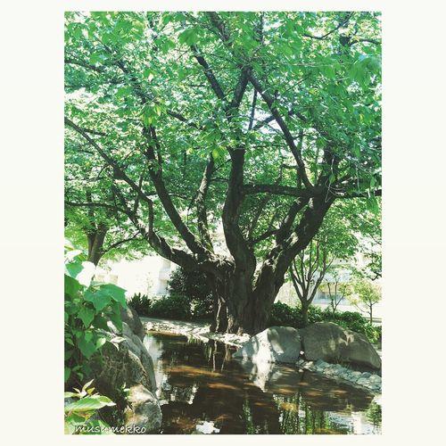 私の好きな木。時々、夜散歩に来た時に登ります。 Relaxing Freshgreens EyeEm Best Shots Japan Photography Nature_collection Landscape_collection EyeEmNatureLover IPhoneography Beautiful Nature EyeEm Nature Lover Waterview 新緑 水辺 Tree 木