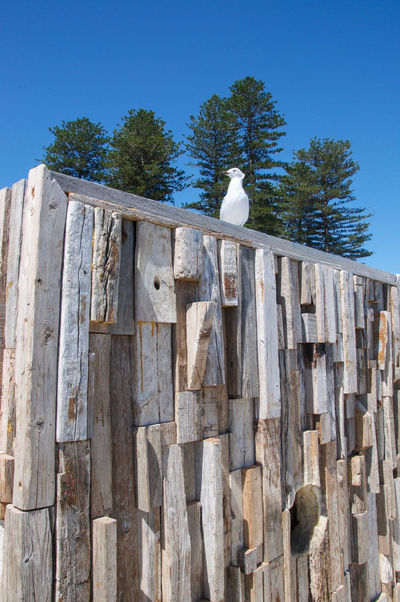 Rustic wood structure with sea gull perched atop and Norfolk Pine trees at Cottesloe Beach in Western Australia. Animal Themes Animals In The Wild Architecture Art Arts Culture And Entertainment Avian Beach Bird Built Structure Cottesloe Creativity Day Festival Interactive  Isolated Low Angle View Norfolk Pines One Animal Perching Rustic Sculpture Sea Gull Travel Destinations Western Australia Wood - Material