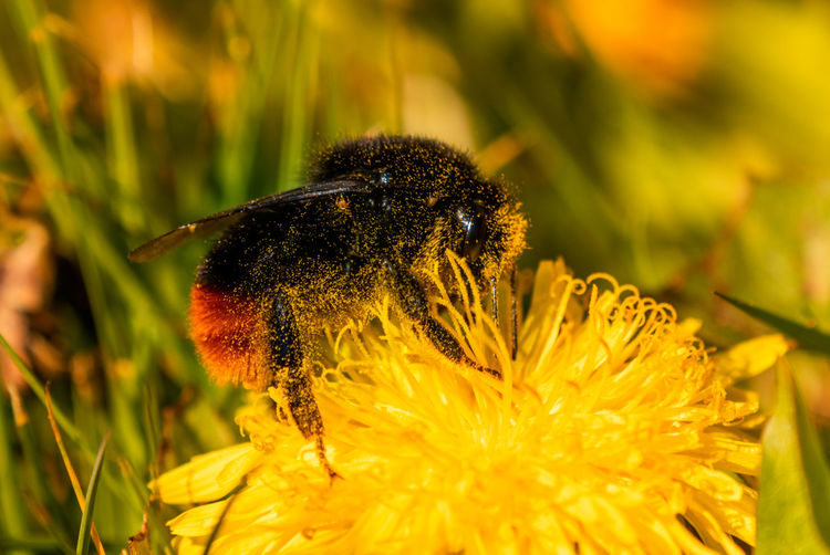 Going for yellow Flower Flowering Plant Flower Head One Animal Close-up Animal Themes Insect No People Pollen Pollination Animals In The Wild Yellow Growth Bee Bumblebee Bumblebee On Flower