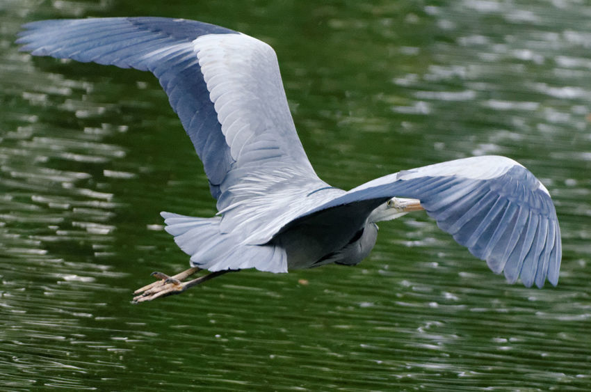 Animal Themes Animal Wildlife Animals In The Wild Beauty In Nature Bird Day Flying Flying Bird Flying Heron Gray Heron Grey Heron Flying Low Heron Heron Flying Lake Mid-air Nature No People One Animal Spread Wings Water