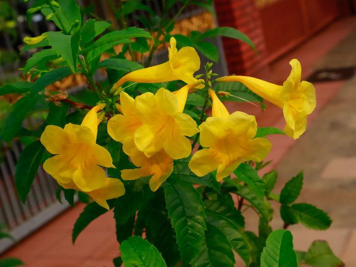 Tacoma flower