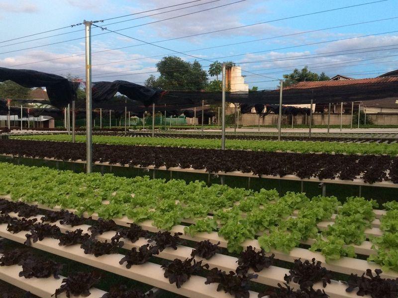 Hydroponic vegetables farm. Agriculture Healthy Green Hydroponic Vegetables Chiangmai Thailand First Eyeem Photo