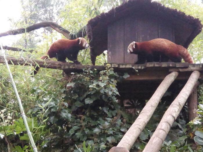 °°eyes in eyes 2°° Panda Roux Beauty Nature Zoo Bamboo Eating Bamboo Wild Animals
