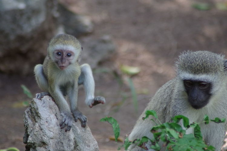 Affen Affenbaby Animals In The Wild Leisure Lodge Macaque Monkey Macaques Monkey Monkey Baby