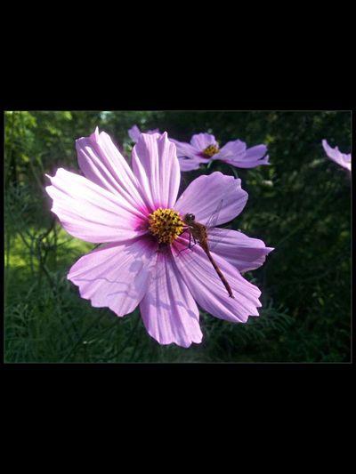 Taken last summer Roy Lake MN😊💚 Taking Photos Minnesota Popular Photos EyeEm Best Shots - Nature Flower Dragronfly Plants 🌱 Marco
