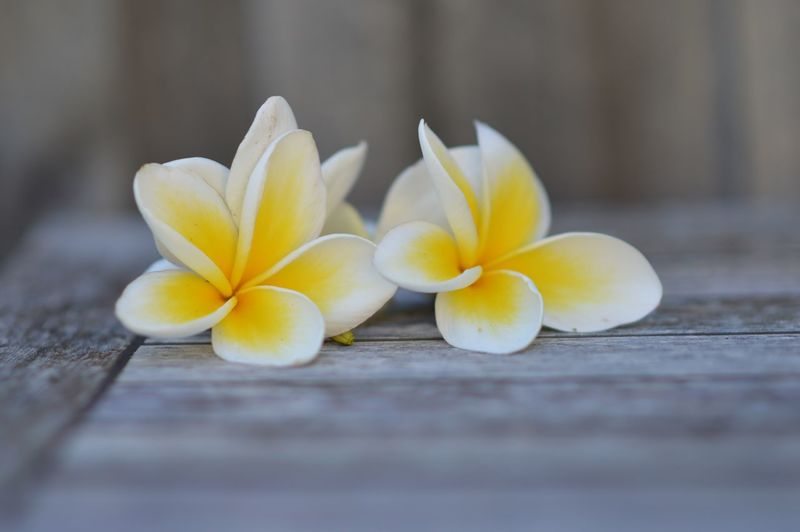 Close-up of frangipani on table
