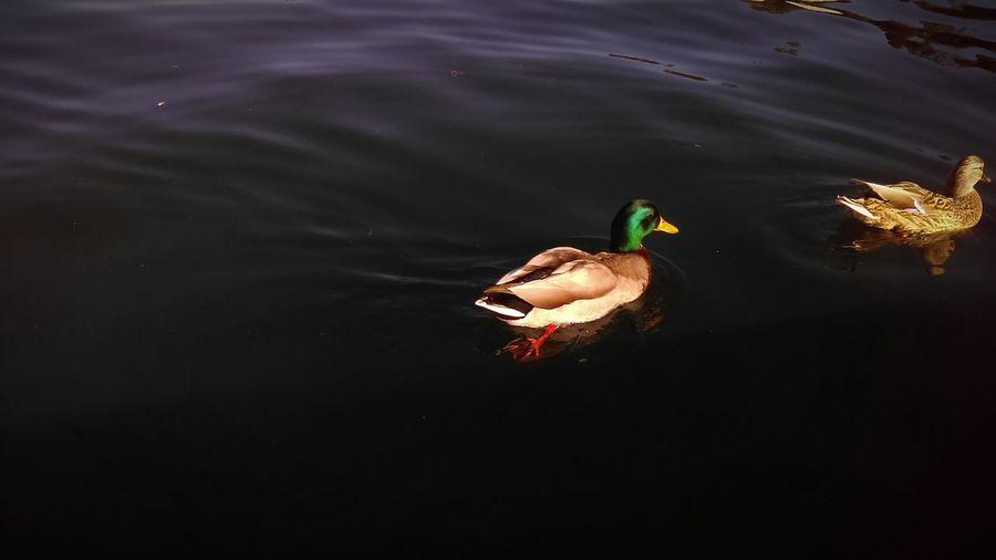 Lake Ducks Nature Simple Water