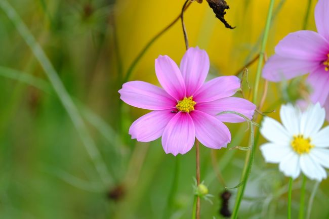 Flowering Plant Flower Freshness Vulnerability  Fragility Plant Petal Beauty In Nature Cosmos Flower Nature Botany Pink Color Close-up