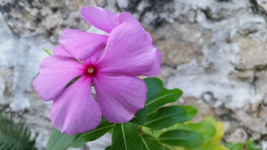 Beauty In Nature Flower Head Close-up Plant Growth Nature Fragility Pink Color Flower No People Close Up Mobile Photography No Edit/no Filter St. Croix USVI