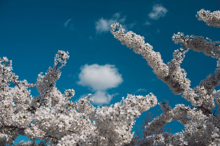 Sky Nature Day No People Blue Low Angle View Cloud - Sky Beauty In Nature White Color Sunlight Growth Outdoors Fragility Plant Tranquility Freshness Vulnerability  Scenics - Nature Sunny Close-up Cherry Blossom Springtime Decadence