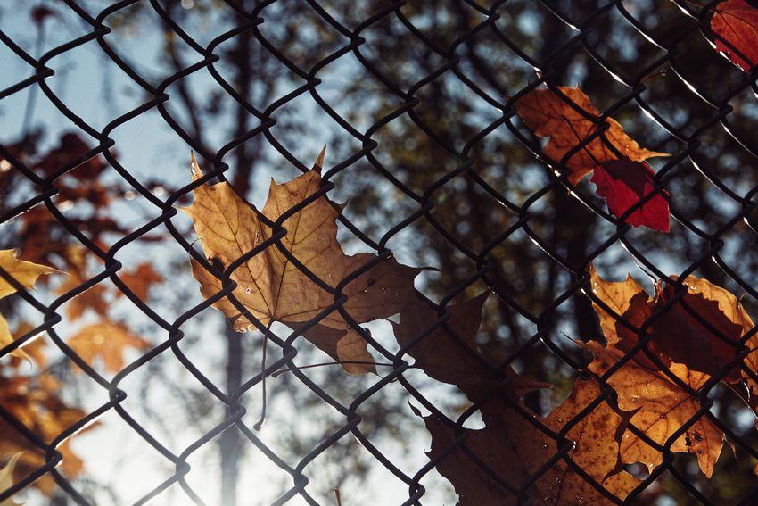 Niklas Storm Okt 2018 Autumn Autumn Collection Fall Protection Safety Metal Chainlink Fence Full Frame Sky Close-up Maple Leaf Fallen Fallen Leaf Change Leaf Vein Season