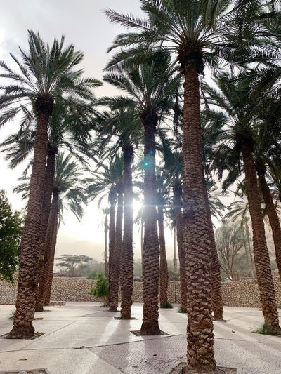 Palm Trees Palm Tree Tree Plant Growth Nature Sunlight Beauty In Nature Outdoors Tree Trunk Standing