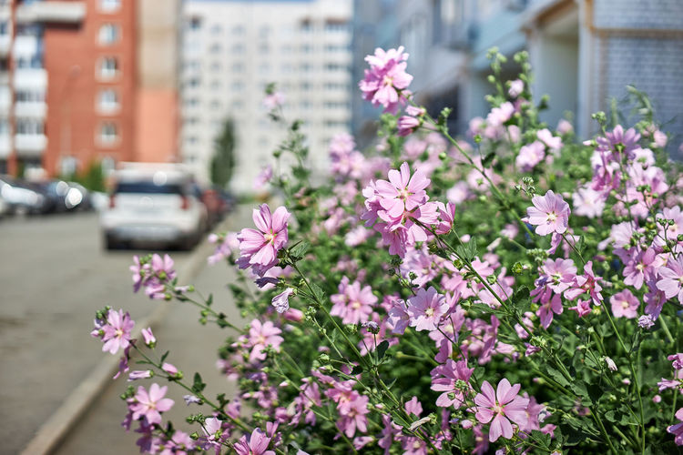 Pink flowering plant in city