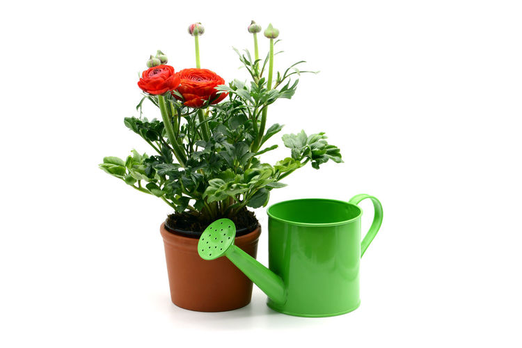 flowerpot of Persian buttercup (Ranunculus asiaticus) and green water can on white isolated background Persian Buttercup Ranunculus Asiaticus Ranunkel  Close-up Flower Flower Head Flowerpot Freshness Green Color Growth No People Plant Potted Plant Ranunculaceae Ranunculus Ranunculus Flower Red Studio Shot Watering Can White Background