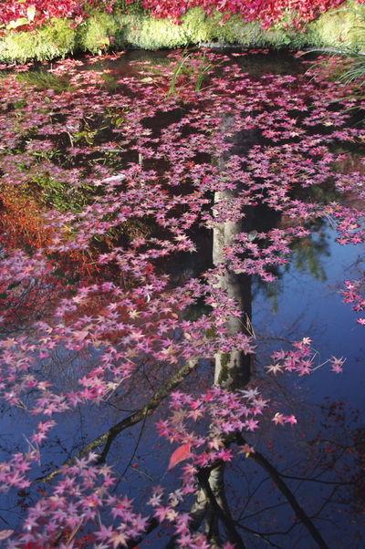 天龍寺 紅葉2016 紅葉 紅葉🍁 Leaf Maple Leaf Nature Beauty In Nature Autumn Nature Photography Nature_collection Reflection Water
