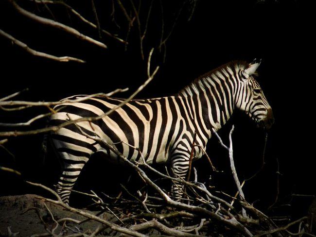 Zebra Mammal Animal Animal Photography Animal Portrait EyeEm Animal Lover EyeEm Best Shots - Nature Nature Photography Deceptively Simple Capture The Moment