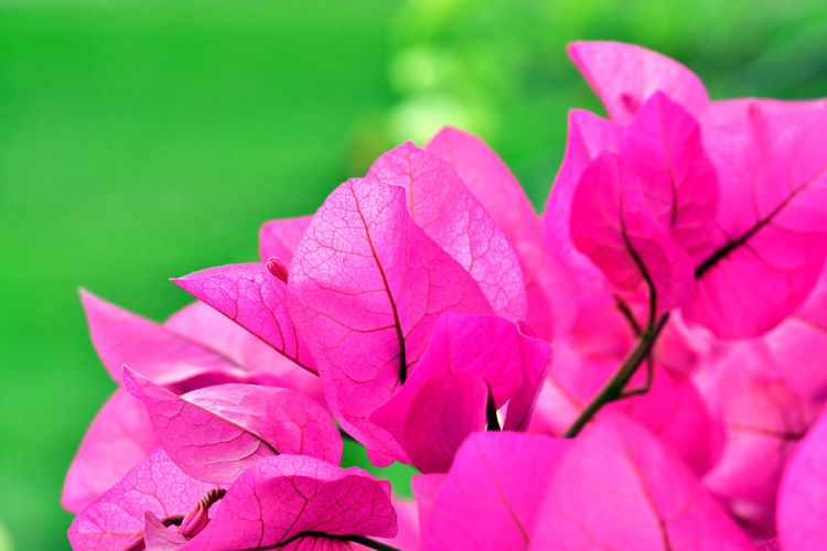 Bougainvillea, Woody climber with stiff curved thorns. Leaves bright green, alternately arranged along stem. Flowers inconspicuous, floral tube (perianth) white to yellow. Flower stalks (inflorescences) almost encaged by conspicuous papery magenta-scarlet bracts. Generally inflorescences consist of three flowers surrounded by three or six bracts. Pollinated by bees. Leaves Bright Green Woody Climber Bougainvillea Flower Floewers Flower Flower Head Green Leaves Perianth Pink Flowers Pink Red Pink Red And Green Pink Reflection Of Rays