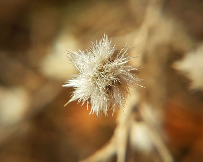 Soft White White Flower Small Fragility Spin Spiral Garden Alone Peace SURRENDER Wallpaper Cover Winter Flower Dandelion Fragility Plant Uncultivated Nature Outdoors Close-up Flower Head No People Day Wildflower Growth Beauty In Nature Sunset