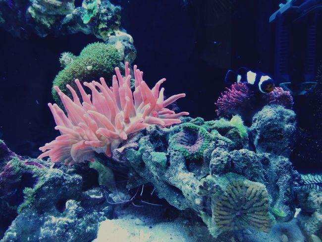 Milk Anemone Coral Reefs Underwater Fishtank Nemo's Bed Animal Lover Seafish Pet Photography  By Lg G3