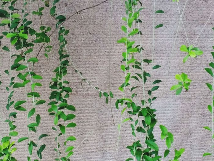 Grey Fence Hedge Plant Plant On The Wall Backgrounds Plants Trees On Wall Wall House Tree Leaf Ivy Full Frame Creeper Plant High Angle View Close-up Architecture Plant Green Color Greenery Wall Young Plant Green Flora Blossoming  Leaves Growing LINE