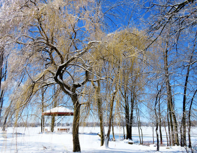 Willow tree covered of ice by a pergola near the frozen lake Snow Winter Cold Temperature Tree Bare Tree Plant Beauty In Nature Nature Tranquility Branch Scenics - Nature Land No People Day White Color Sky Covering Tranquil Scene Environment