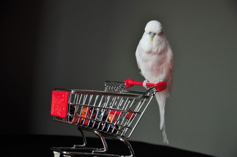 Animal Themes Animal Shopping Cart Studio Shot One Animal Indoors  Vertebrate Bird Shopping Red Close-up No People Retail  Perching Cage Gray Background Copy Space Supermarket Black Background Basket Consumerism Small